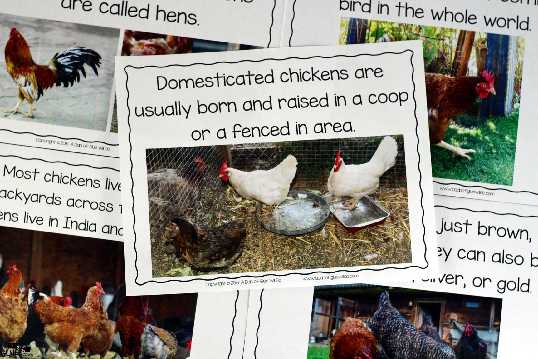 Chickens An Animal Study Chicken Diagram Roosters Pinterest Engage Your Class In Exciting Hands On Experience Learning All About It